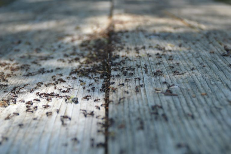 Ants on wooden rustic table