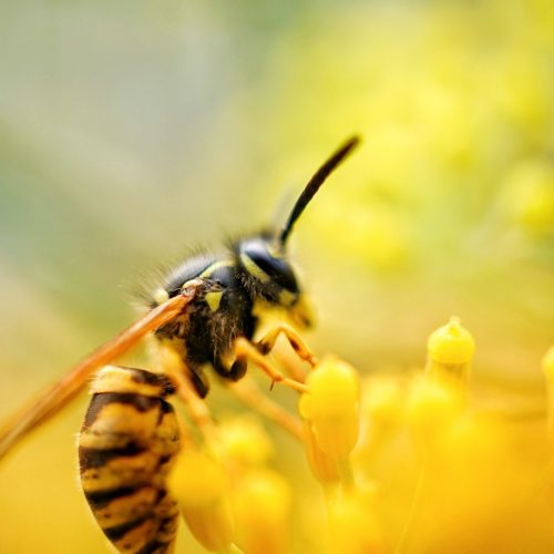 Close up of a wasp on a yellow flower